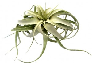 Tillandsia XEROGRAPHICA MINI