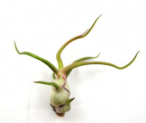Tillandsia BULBOSA Mini · 5-6 cm